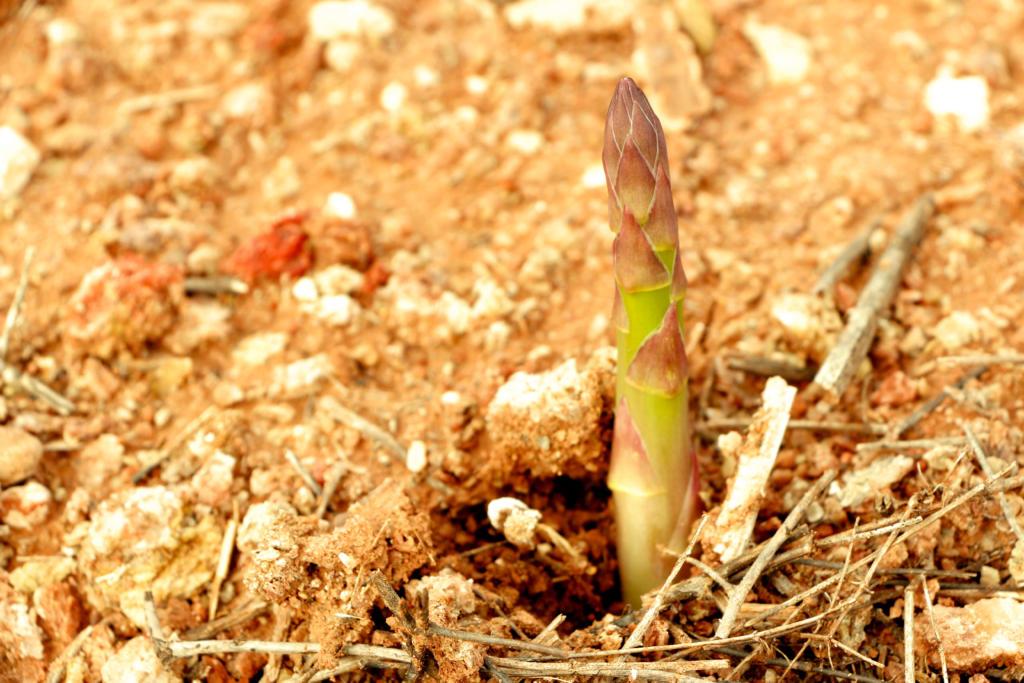 Green Asparagus Tesoro del Mediterráneo